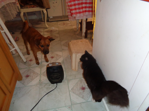Catamus Maximus and Buster B Dog in the kitchen CricketDiane 2018