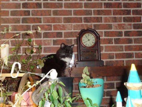 Catamus Maximus cat in the plants CricketDiane 2018